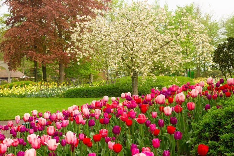 Jardín de la primavera con los tulipanes florecientes del abd del árbol foto de archivo libre de regalías