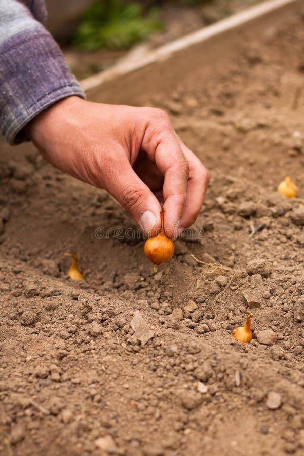 Jardín de la primavera de Planting Onion In del granjero de la mano fotos de archivo libres de regalías