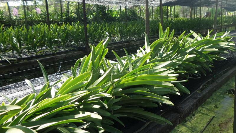 Jardín de la raza de la orquídea en Thonburi Tailandia imagen de archivo libre de regalías