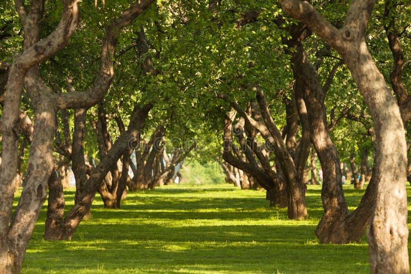 Jard?n de los ?rboles frutales en la primavera en Kolomenskoye, Mosc?, Rusia El jard?n pintoresco Parque hermoso Un brillante fotos de archivo libres de regalías