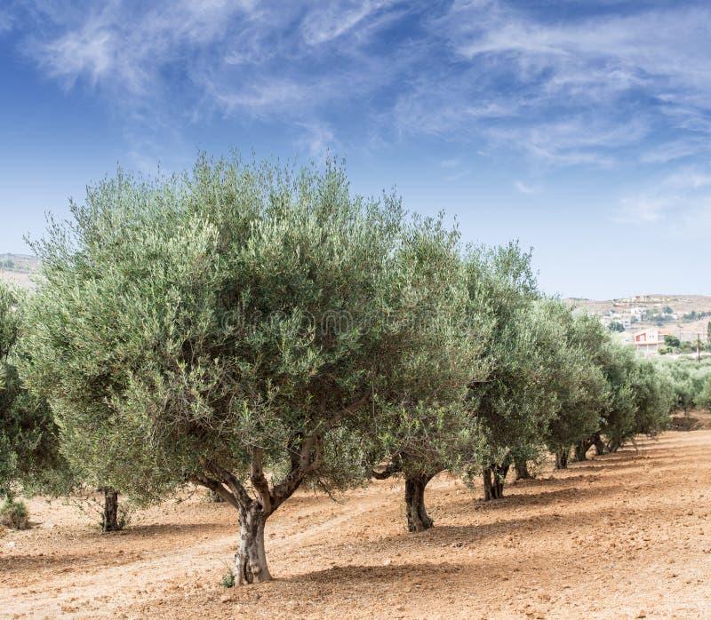 Jardín de los olivos fotos de archivo
