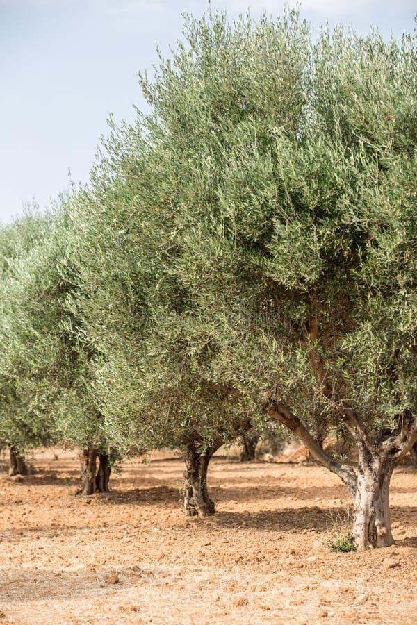 Jardín de los olivos imagen de archivo libre de regalías