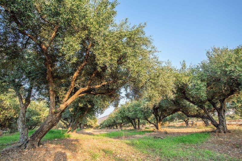 Jardín de los olivos foto de archivo