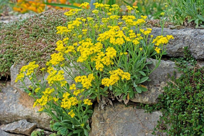 Jardín de rocalla con las flores amarillas fotos de archivo