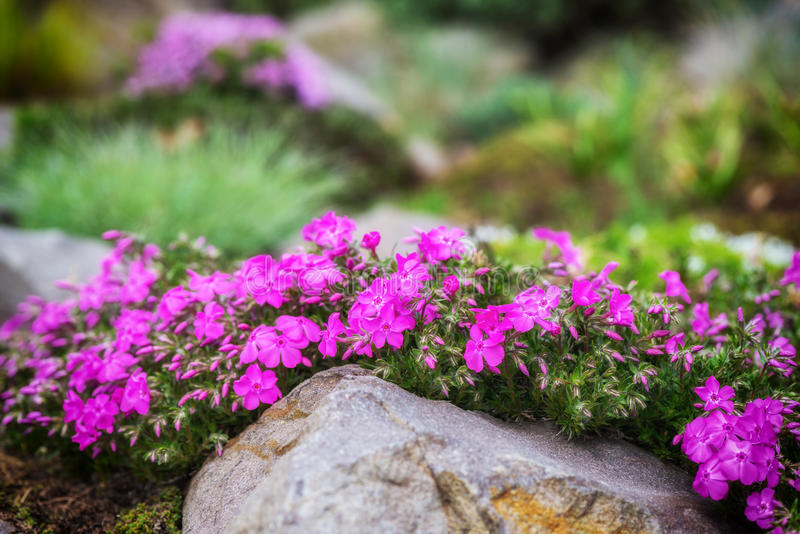 Jardín de rocalla con las pequeñas flores bastante violetas del polemonio imagenes de archivo