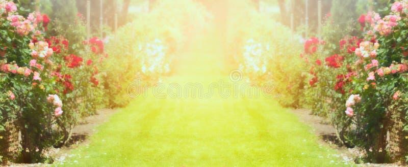 Jardín de rosas con el césped y la luz del sol, fondo borroso de la naturaleza, bandera imágenes de archivo libres de regalías