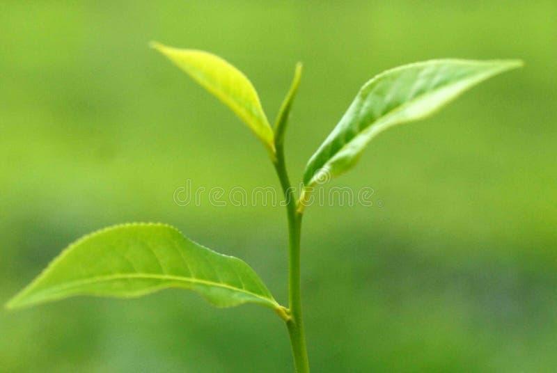Jardín de té en Sylhet, Bangladesh foto de archivo libre de regalías
