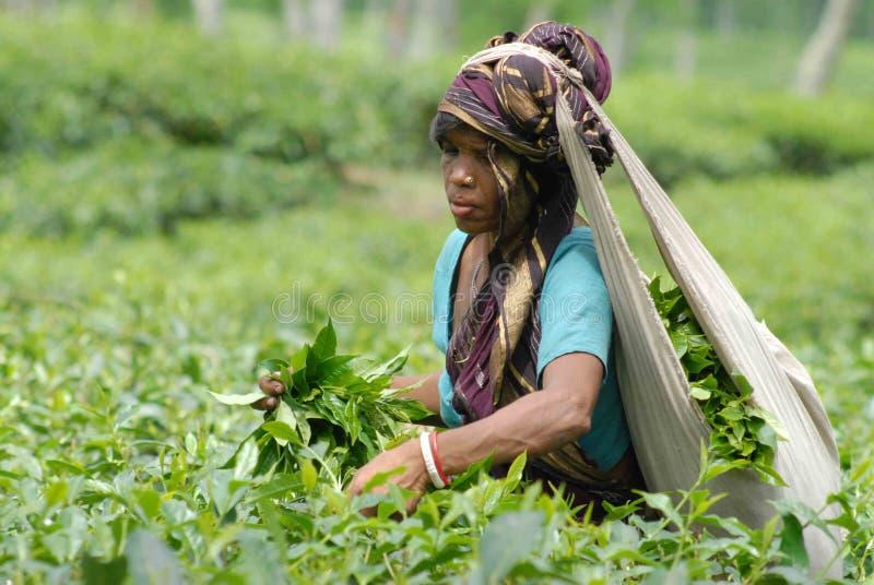 Jardín de té en Sylhet, Bangladesh imágenes de archivo libres de regalías