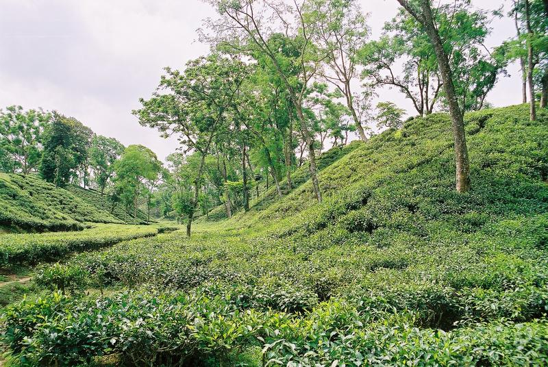 Jardín de té en Sylhet, Bangladesh fotos de archivo