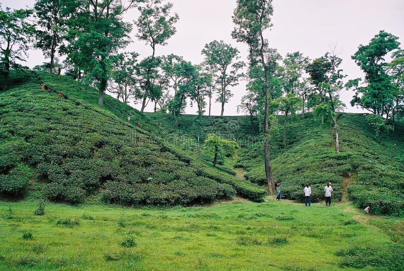 Jardín de té en Sylhet, Bangladesh fotos de archivo libres de regalías