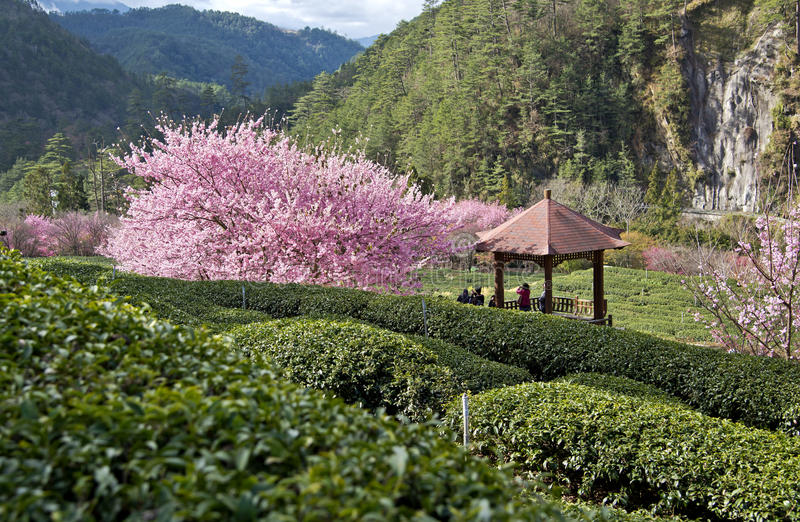 Jardín de té hermoso en Taiwán fotos de archivo