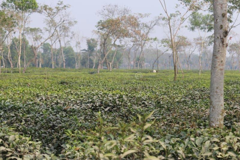 Jardín de té de Sylhet foto de archivo libre de regalías