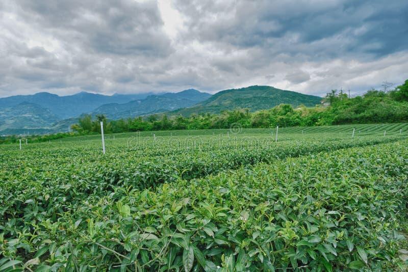 Jardín de té verde fotografía de archivo libre de regalías