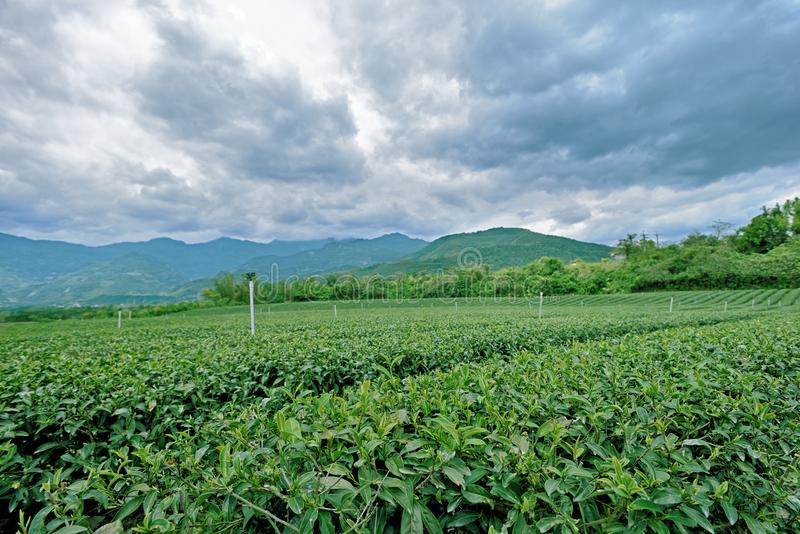 Jardín de té verde foto de archivo libre de regalías