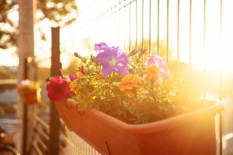 Jardín del balcón del verano en la iluminación de la puesta del sol: flores coloridas hermosas de la petunia fotografía de archivo