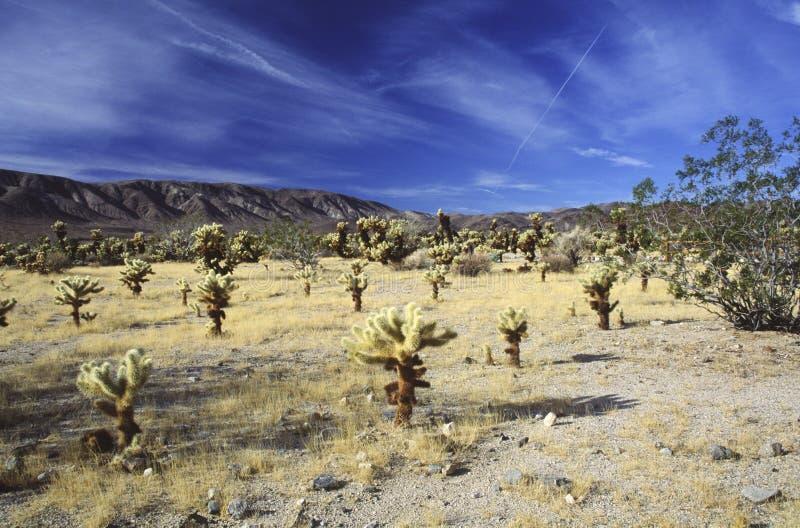 Jardín del cacto de Cholla en desierto de Mojave imagenes de archivo