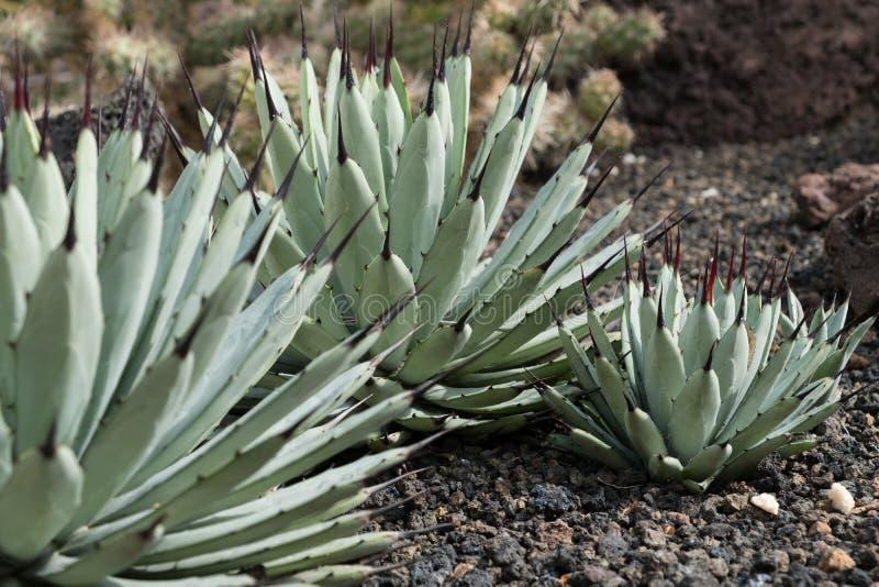 Jardín del cactus, jardín suculento de la planta, áloe fotos de archivo