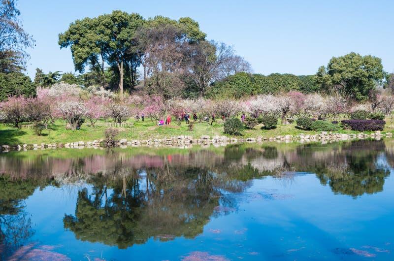 Jardín del flor del ciruelo de Wuhan Donghu imagen de archivo