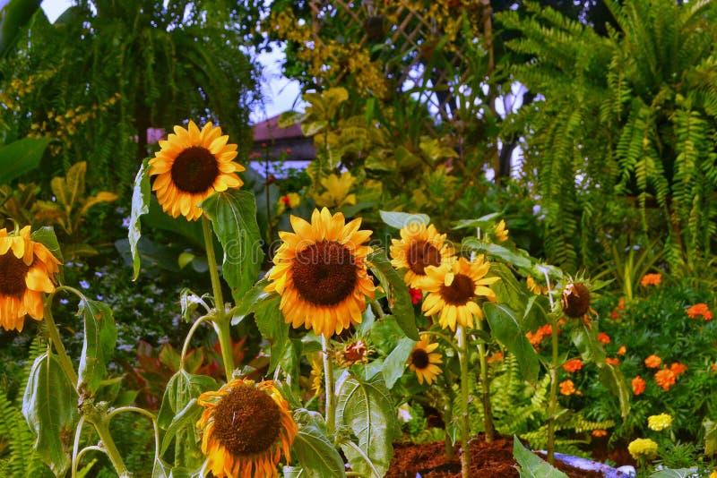 Jardín del girasol imagenes de archivo