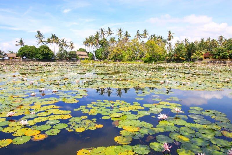 Jardín del lirio de agua fotografía de archivo