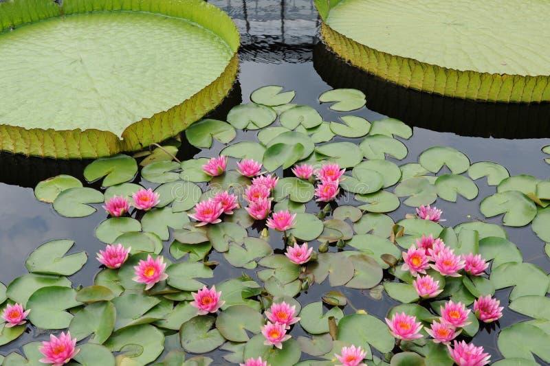 Jardín del lirio de agua fotos de archivo