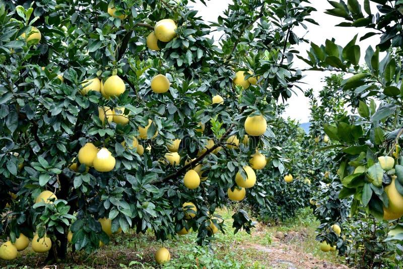 Jardín del pomelo imagenes de archivo