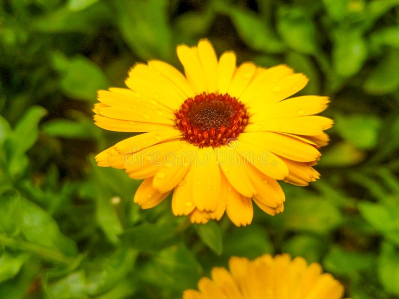 Jardín del verde de la flor del girasol fotos de archivo