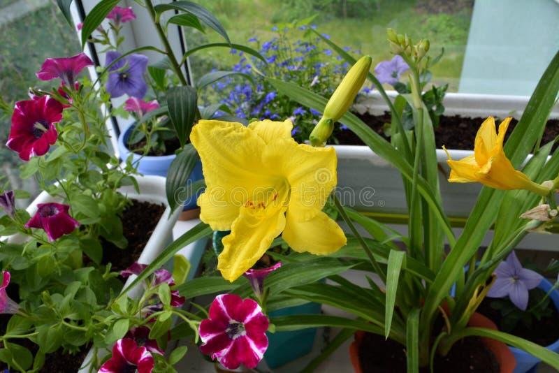 Jardín en el balcón por completo de las flores coloridas - lirio de día amarillo, petunia magenta, lobelia azul, grandiflorus vio foto de archivo