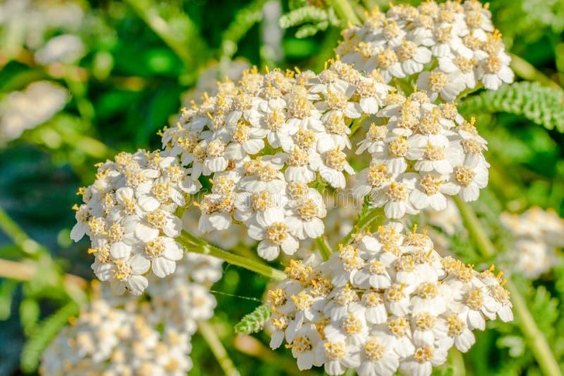 Jardín exterior Miniflores blancas y amarillas imágenes de archivo libres de regalías
