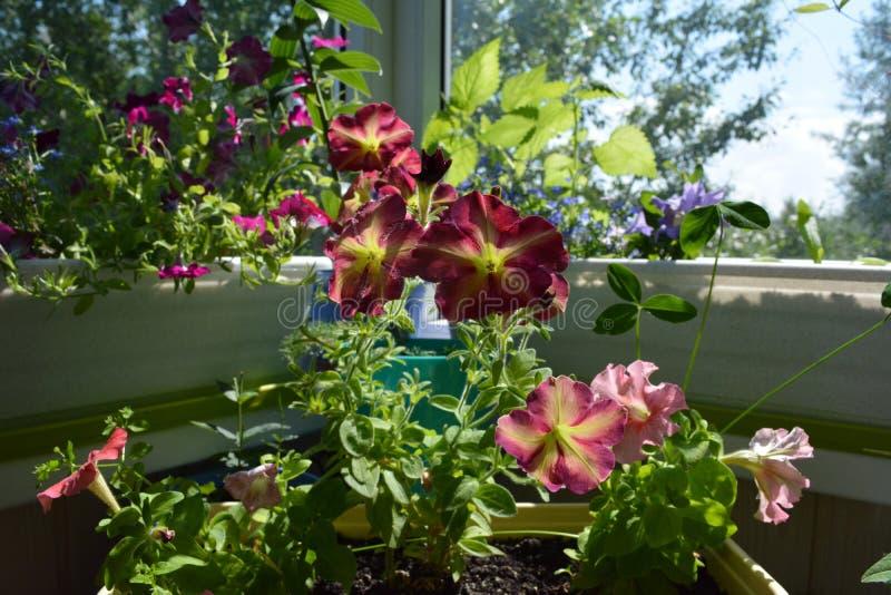 Jardín floreciente perfecto en el balcón Greening casero Las flores brillantes de la petunia crecen en envases fotos de archivo