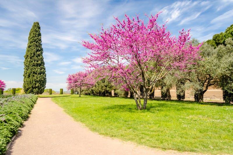 Jardín hermoso con los cerezos, los cipreses y la aceituna florecidos foto de archivo libre de regalías
