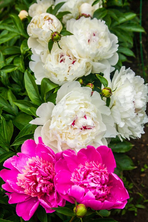 Jardín hermoso de peonías foto de archivo libre de regalías