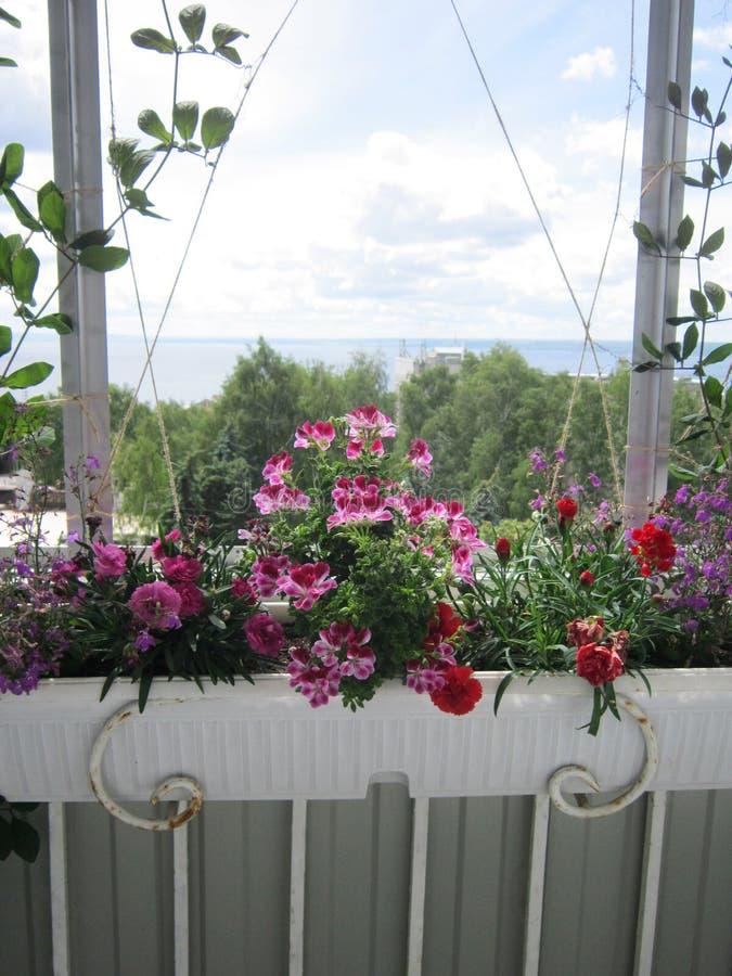 Jardín hermoso en el balcón con las plantas florecientes en envase Rosa y flores rojas - clavel y geranio fotos de archivo libres de regalías