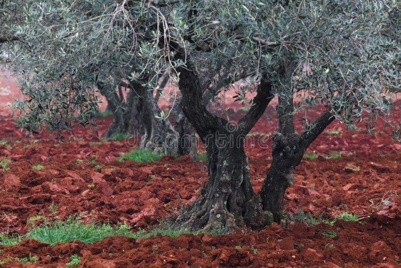 Jardín mediterráneo, primer la rama fotografía de archivo