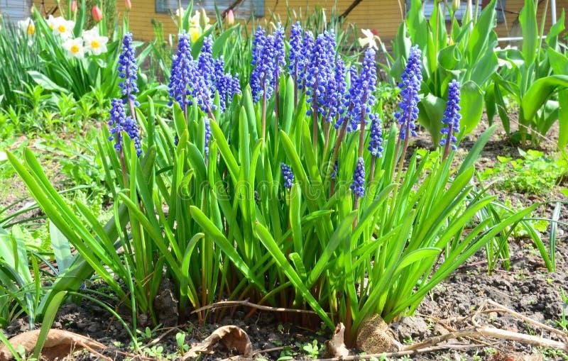 Jardín púrpura/blanco El muscari azul florece el jacinto de uva en la cama de flor de la primavera fotografía de archivo
