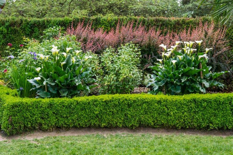 Jardín plantado con la cala floreciente fotos de archivo libres de regalías
