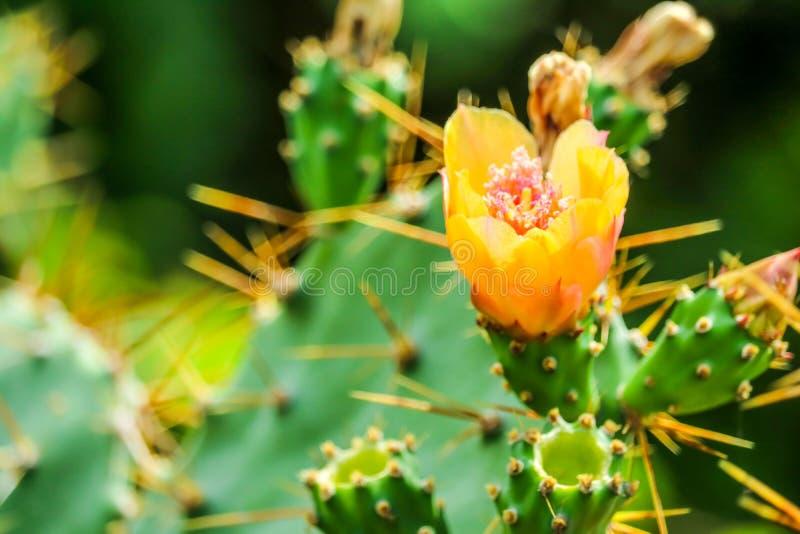 jardín salvaje del verde de la floración de la flor del cactus del desierto imagenes de archivo