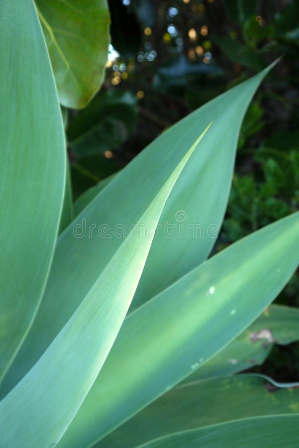 Jardín subtropical: hojas del agavo foto de archivo