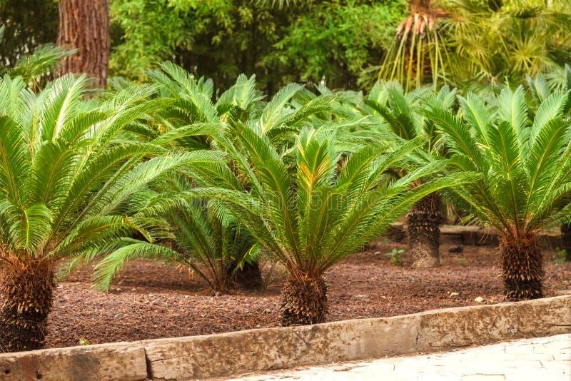 Jardín tropical con sagú japonés de la palma Cycas Revoluta imagenes de archivo