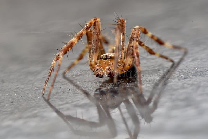 Jardín Wolf Spider con la reflexión imagen de archivo