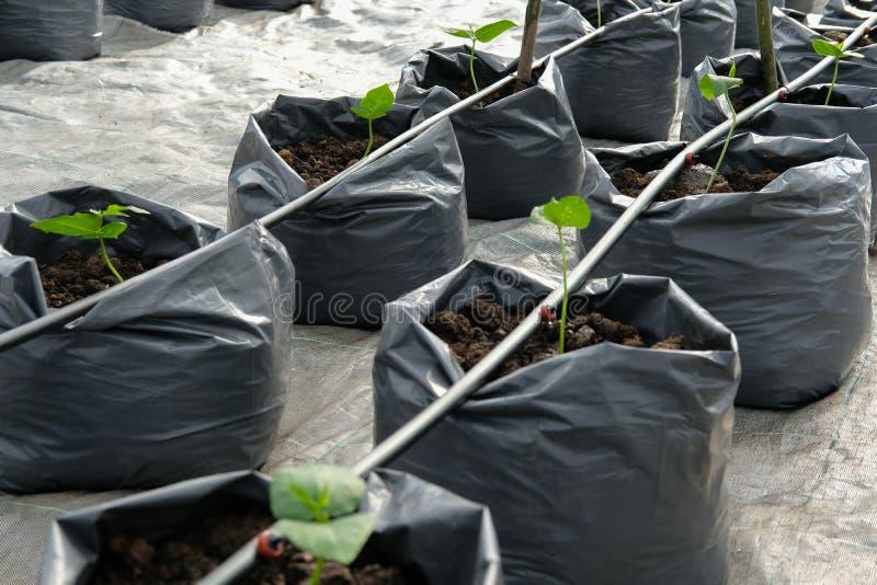 jarda długi bobowy dorośnięcie w szklarnianej rośliny pepinierze z kapinosa watem zdjęcie royalty free