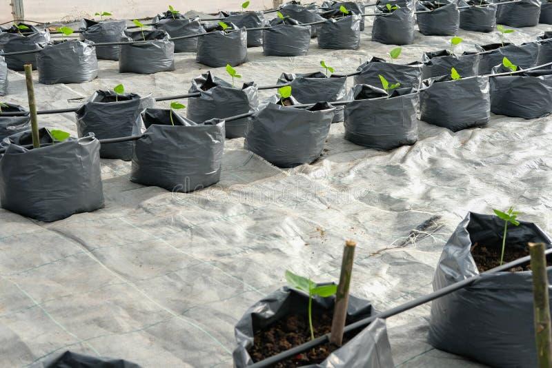 jarda długi bobowy dorośnięcie w szklarnianej rośliny pepinierze z kapinosa watem zdjęcia stock