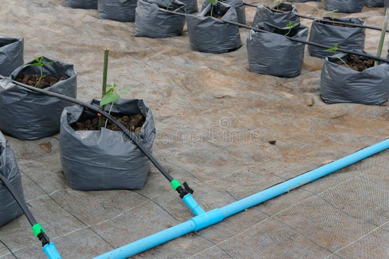 jarda długi bobowy dorośnięcie w szklarnianej rośliny pepinierze z kapinosa watem fotografia royalty free