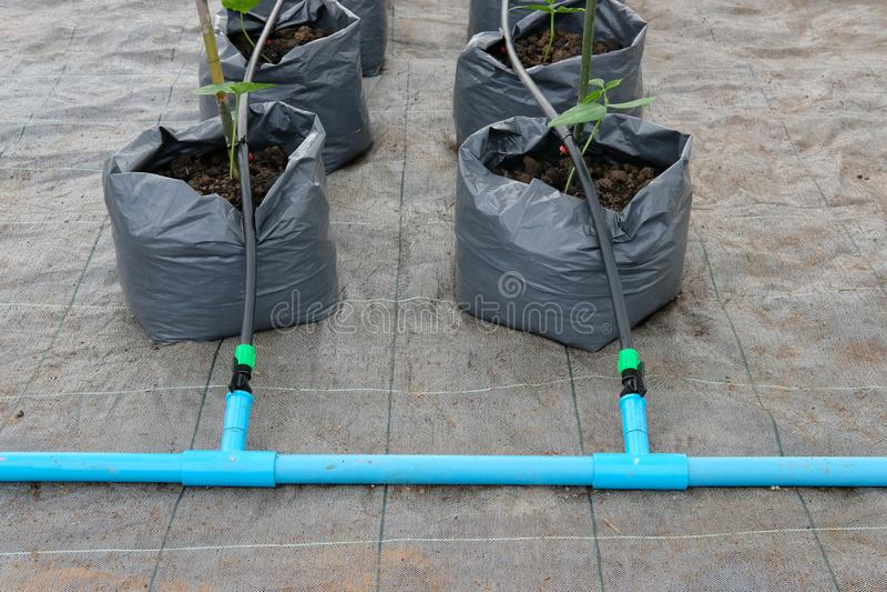jarda długi bobowy dorośnięcie w szklarnianej rośliny pepinierze z kapinosa watem obraz stock