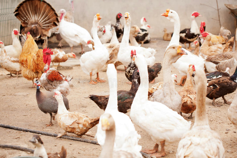 Jarda das aves domésticas, gansos, galinhas, patos, perus foto de stock