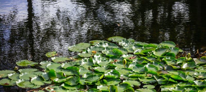Jardim aquático com os lírios ou os lótus de água fresca na lagoa Fundo da natureza, copyspace, bandeira, papel de parede fotos de stock