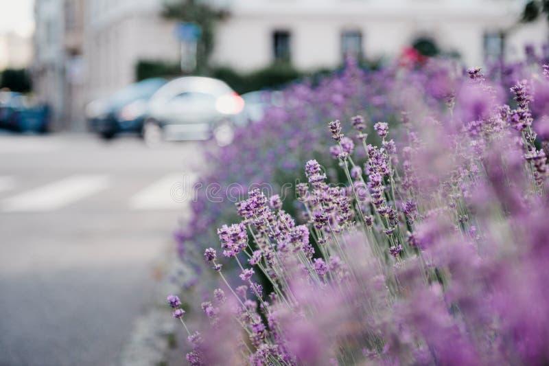 Jardim bonito da alfazema com lavende fresco e colorido fotografia de stock royalty free