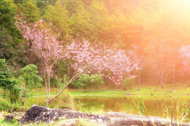 Jardim bonito no sakura cor-de-rosa imagens de stock royalty free