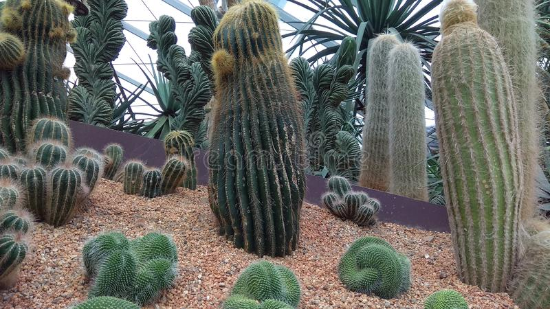 Jardim botânico de Singapura alguns cactos fotos de stock
