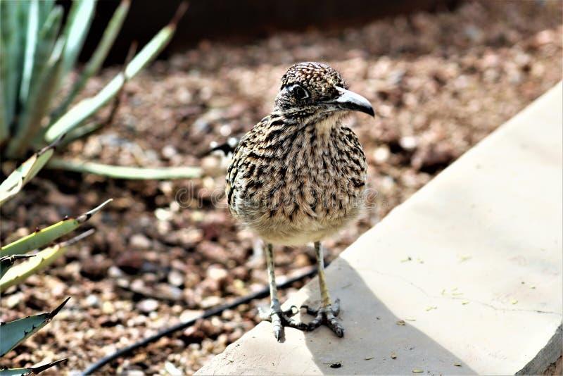 Jardim botânico Phoenix do deserto do Roadrunner, o Arizona, Estados Unidos imagens de stock royalty free